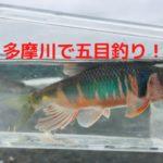 【動画あり】多摩川で小物釣り【婚姻色のオイカワ含む9種目釣り達成】