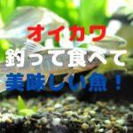 オイカワ(ヤマベ・ハエ) 釣り方【仕掛け・飼育方法・食べ方紹介】
