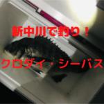【新中川釣り】大型クロダイ、シーバス、ニゴイの釣果!うなぎは不発