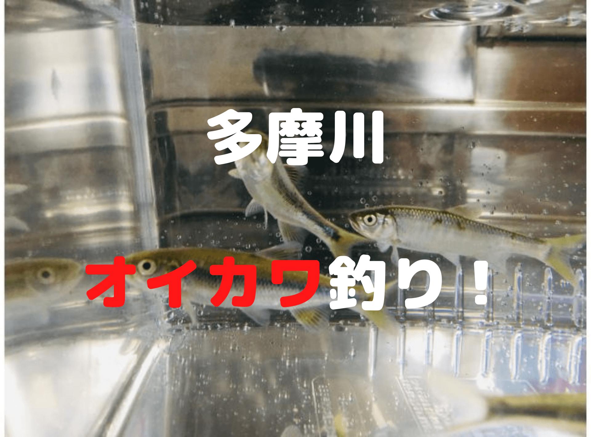 多摩川でオイカワ釣り【外道にスゴモロコ・カワムツ・タモロコ】