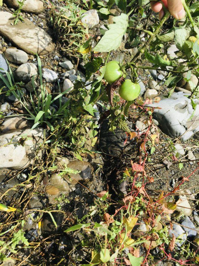 多摩川のトマト
