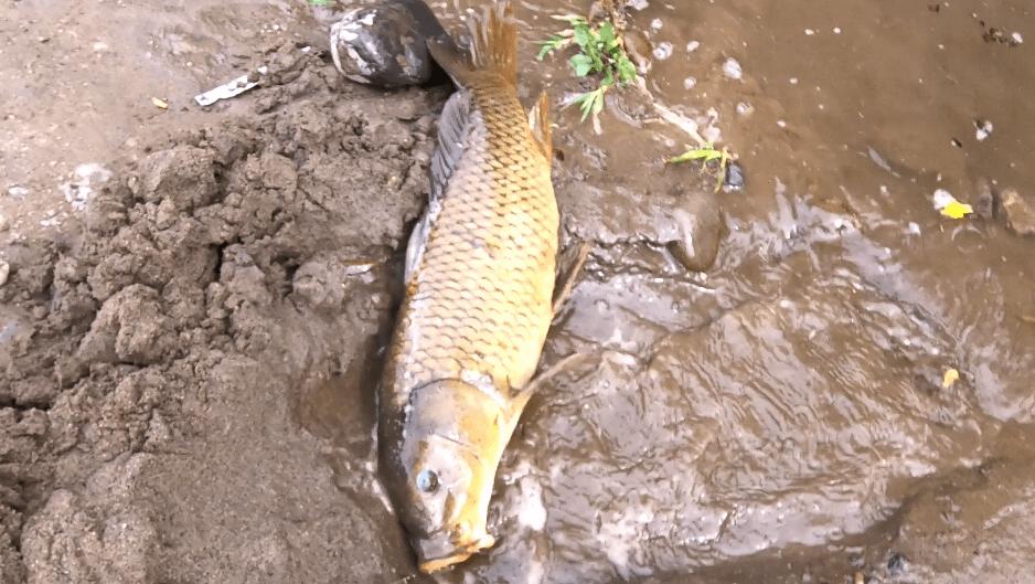 多摩川 鯉②