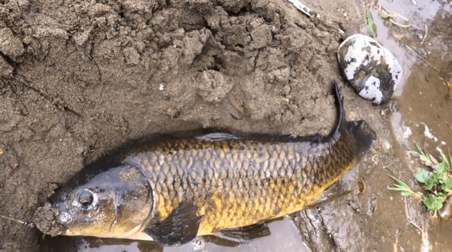 多摩川 大鯉