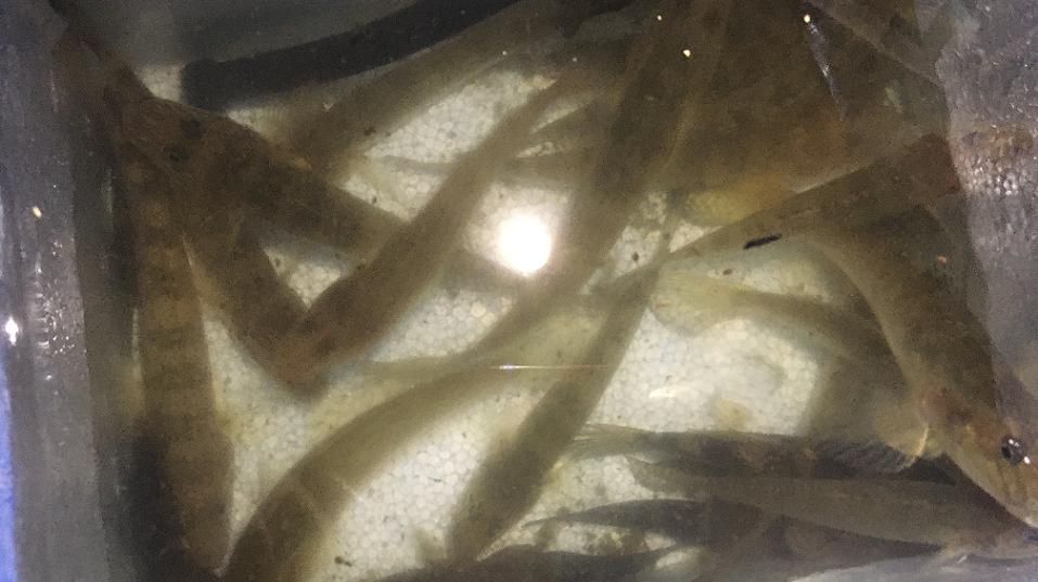 海老取川でハゼ爆釣