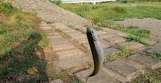 多摩川のアブラハヤ