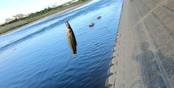 多摩川のタモロコ