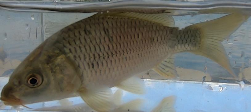 多摩川の鯉