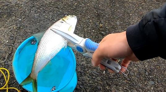 ふれーゆ裏 コノシロ 釣り